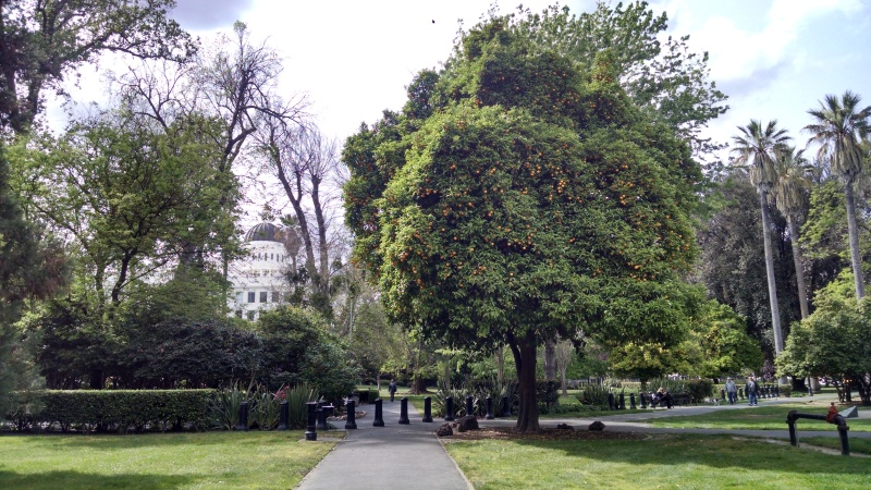 The capitol grounds are filled with trees and vegetation that are local to various different spots in California. Many of them are identified with posted placards.  Here you can see the Capitol peaking up behind a giant orange tree.